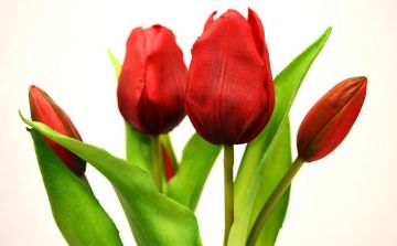 tulips-3174145_1920.jpg